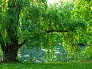 Un arbre, Une saison : Entretien avec un saule pleureur dans Méditations florales saule-pleureur-dans-un-jardin-300x225